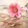 rosa Gerbera - Makro