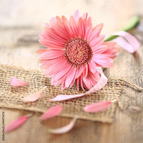 Fototapety, obrazy : rosa Gerbera - Makro