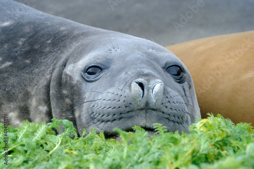 Elephant Seal relaxing