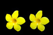 yellow flower isolated on black background