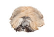 Lhasa apso puppy lying on white