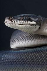 White-lipped python / Leiopython hoserae