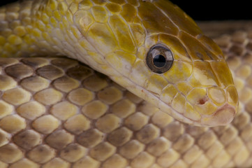 Yellow rat snake / Elaphe obsolete quadrivittata