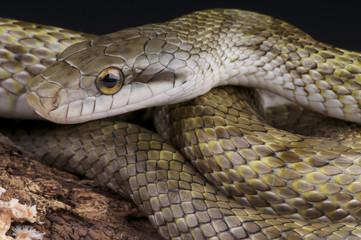 Japanese Rat snake / Elaphe climacophora