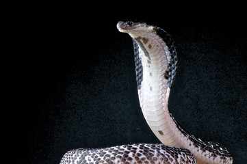 Spitting cobra / Naja sputatrix