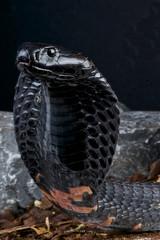Black spitting cobra / Naja nigricollis
