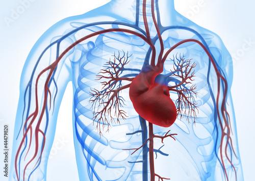 Leinwanddruck Bild Herz-Kreislauf vor weiss 3