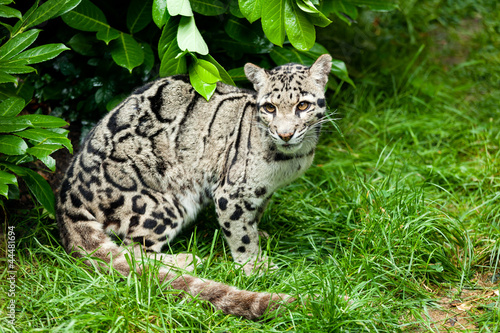 Fotobehang Luipaard Female Clouded Leopard Sitting Under Bush