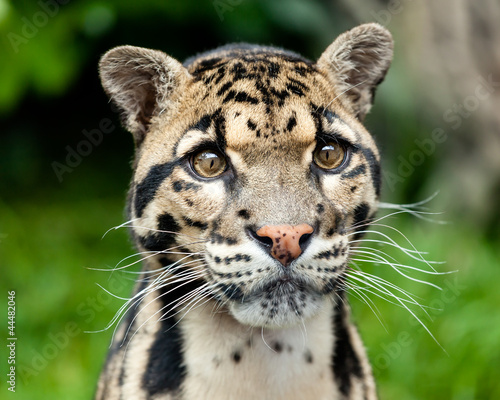 Canvas Luipaard Head Shot Portrait of Beautiful Clouded Leopard