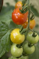grappe de tomates cerise