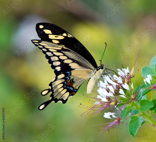 Giant Swallowtail butterfly (Papilio cresphontes) - 44485480