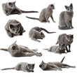 Collection of blue russian cats on  white background.