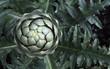 Artischockenpflanze mit Blüte
