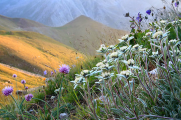 Edelweiss and other flowers in an alpine slope