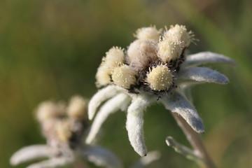 Summer edelweiss