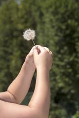 Taraxacum officinale fra le mani di una bambina