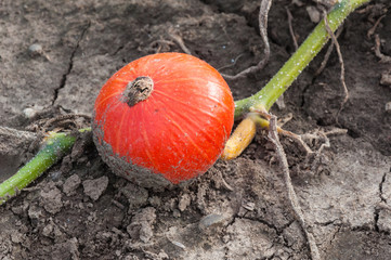 One red pumpkin on cracked earth