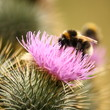 detail of a busy bumblebee on milk thistle