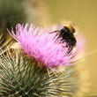 bumblebee lapping its tongue on a milk thistle