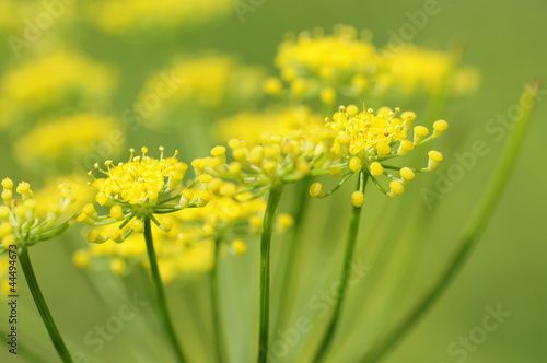 canvas print picture fenchel 36