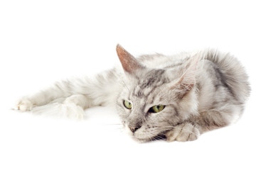 chat maine coon gris