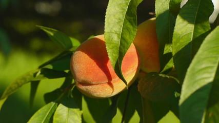 Ripe peach on the tree