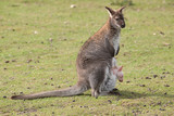 wallaby with joey 6952 poster