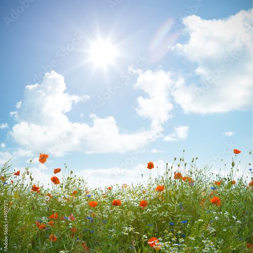 Fototapeten,mohn,blumenwiese,kornblume,sonne