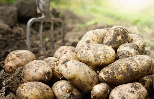 Close up of fresh organic potatoes in the field - 44509416