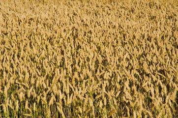 Wheat field as a background