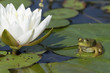 Bullfrog Sitting on a Lily Pad Next to a Blooming Water Lily