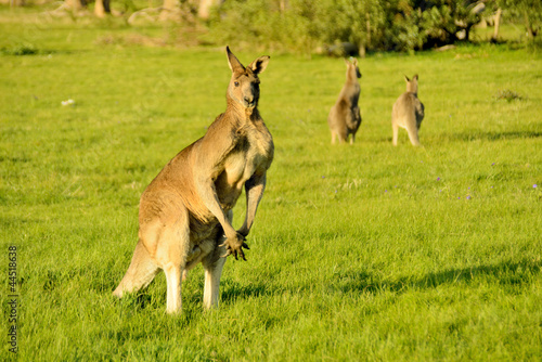 Australian outback kangaroo on the sunset series