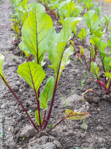 Beet cultivation on open soil.