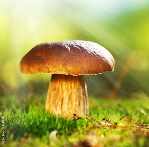 Cep Mushroom Growing in Autumn Forest. Boletus