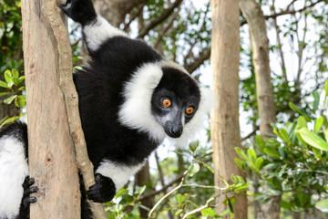 black-and-white ruffed lemur, lemur island, andasibe