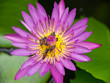 Bees and water lily