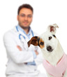 Veterinary with Jack Russell