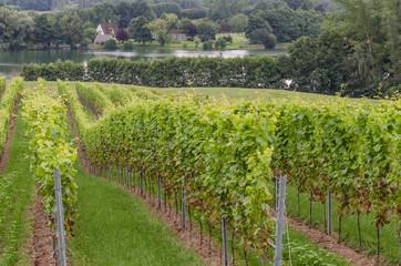 Weinanbau in Schleswig-Holstein