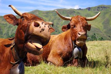 Humour vache