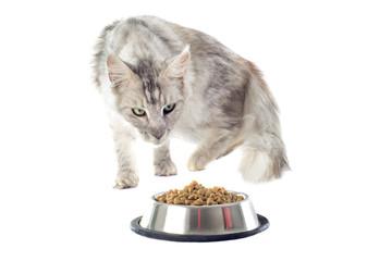 chat maine coon et croquettes