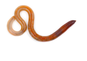 Animal earthworm on white background