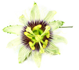 Jhumko Lata or Passion flower of Indian Subcontinent