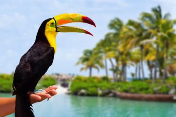 Caribbean Toucan in the Mayan Riviera