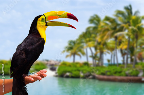 Caribbean Toucan in the Mayan Riviera