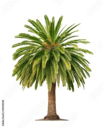 Plexiglas Palm boom Palm on white background