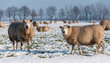 Curiously looking sheep in a snowy grassland
