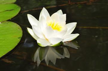 отражение в воде белой кувшинки