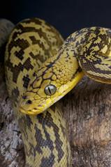 Timor python / Python timoriensis
