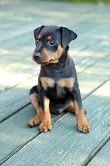 The Miniature Pinscher puppy, 1,5 months old