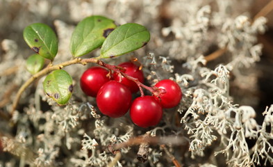 The Forest cranberries in nature